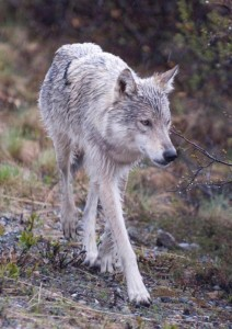 Denali National Park Research Provides New Insight Into Wolf Population Dynamics